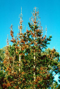 pitch canker in monterey pine