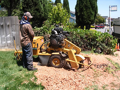 Grinding Redwood stump after tree removal
