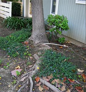 tree-roots-1