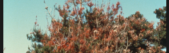 Monterey Pine dieback in the Bay Area